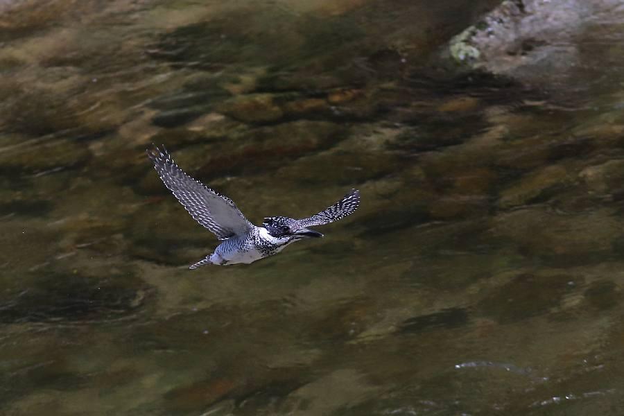 渓流の鳥_e0077041_20532596.jpg