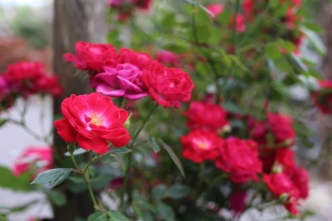 今年はバラが沢山🎶_c0342646_10023264.jpg