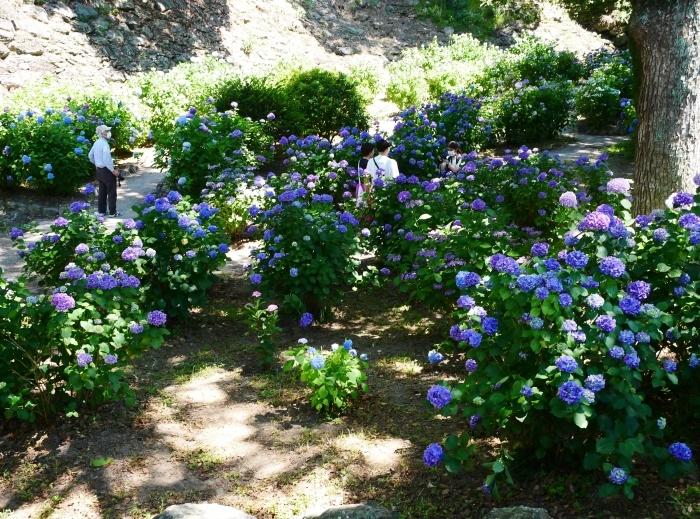 和歌山城公園のアジサイ園へ行ってきました。  2020-06-13 00:00_b0093754_22535580.jpg