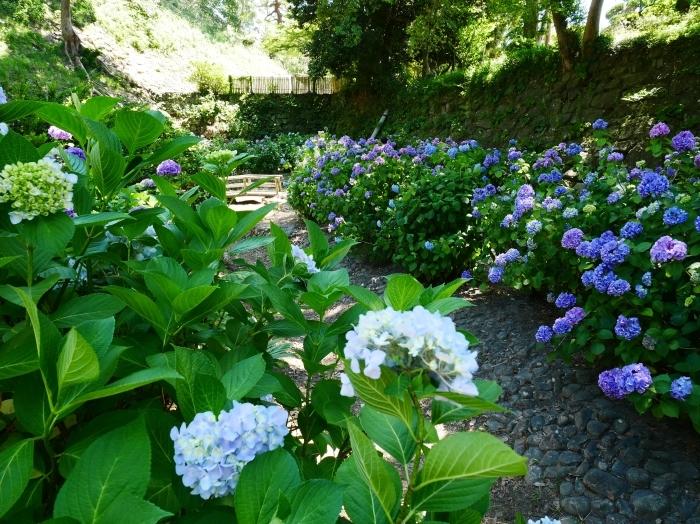 和歌山城公園のアジサイ園へ行ってきました。  2020-06-13 00:00_b0093754_22540577.jpg