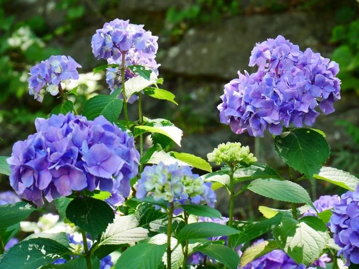 和歌山城公園のアジサイ園へ行ってきました。  2020-06-13 00:00_b0093754_22551639.jpg