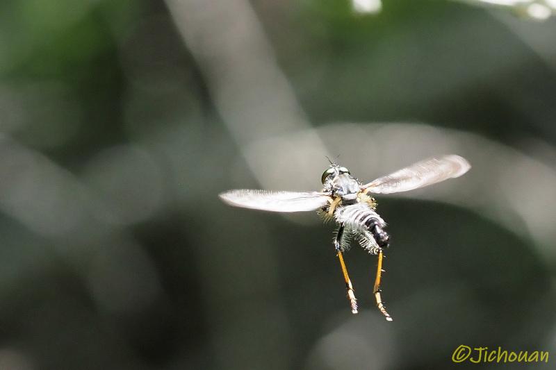 ムシヒキアブ2020(マガリケムシヒキの一種、求愛飛翔か?)_a0342569_16364344.jpg