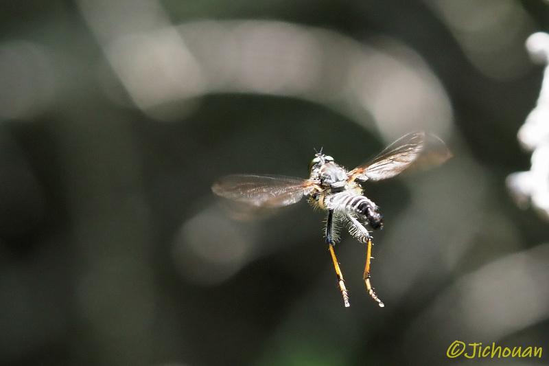 ムシヒキアブ2020(マガリケムシヒキの一種、求愛飛翔か?)_a0342569_16365691.jpg