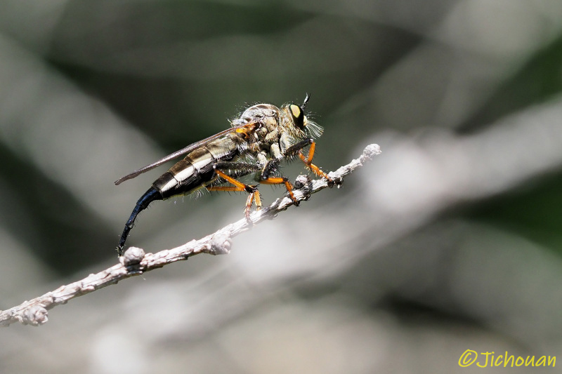 ムシヒキアブ2020(マガリケムシヒキの一種、求愛飛翔か?)_a0342569_16372080.jpg