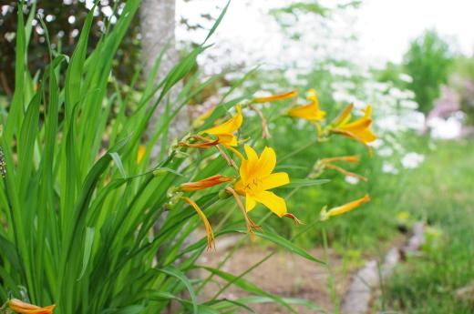 庭のヘメロカリス/今日から梅雨入り予報_c0110869_06272965.jpg
