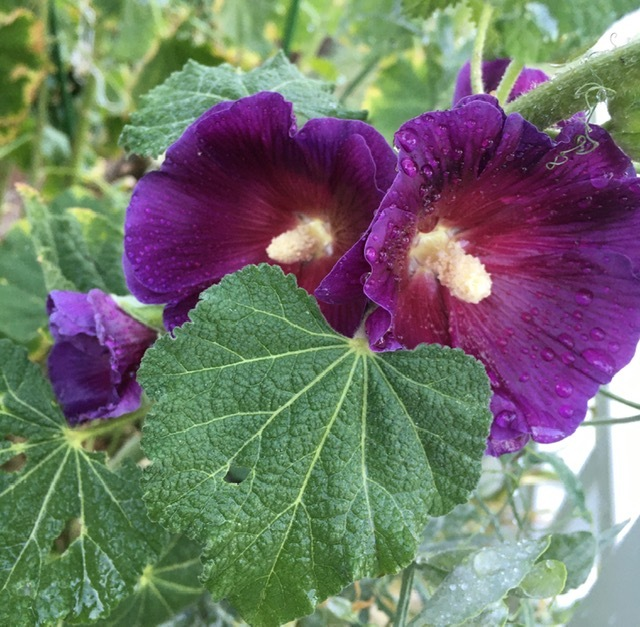 一重の立葵と生け花_e0350971_23100899.jpg