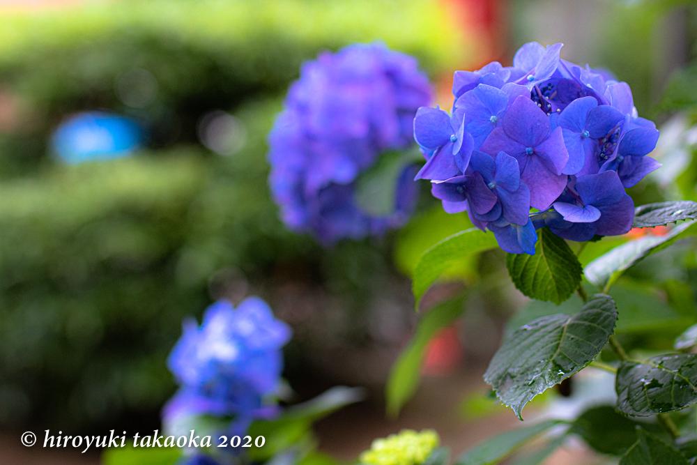 今年の紫陽花_c0011696_16385067.jpg