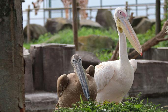 多摩動物公園サマーナイト2019②~夕陽の中のペリカンっ仔_b0355317_23151228.jpg