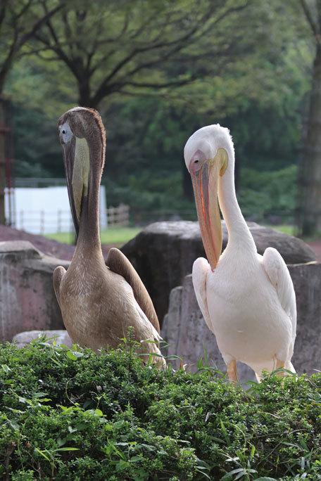 多摩動物公園サマーナイト2019②~夕陽の中のペリカンっ仔_b0355317_23155794.jpg