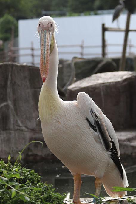 多摩動物公園サマーナイト2019②~夕陽の中のペリカンっ仔_b0355317_23174053.jpg