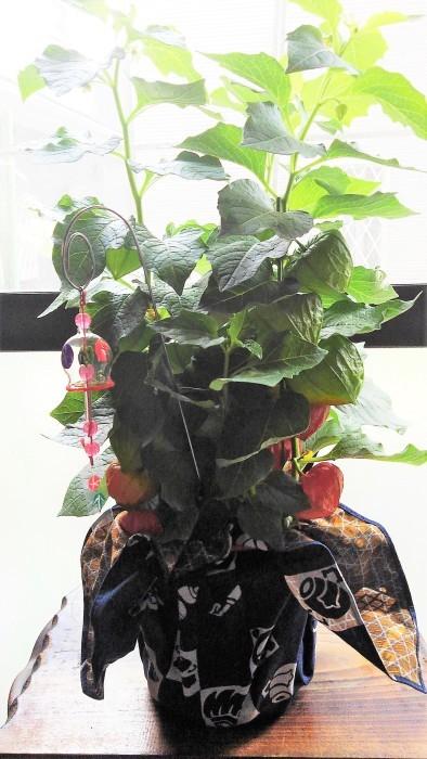 ■【新宿の娘夫婦から 素敵なほおずきの鉢植えが届きました♪】_b0033423_22594033.jpg