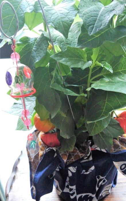 ■【新宿の娘夫婦から 素敵なほおずきの鉢植えが届きました♪】_b0033423_23013789.jpg
