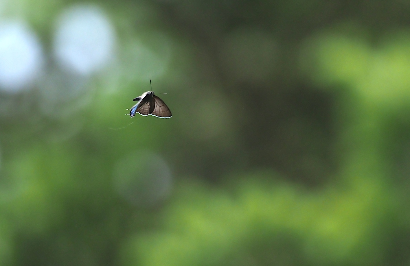 今年も撮れたオオミドリシジミ(2020年6月8日)_d0303129_02580937.jpg