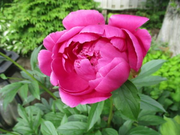 お庭のお花が色々咲きだした&豚しゃぶ_a0279743_11111264.jpg
