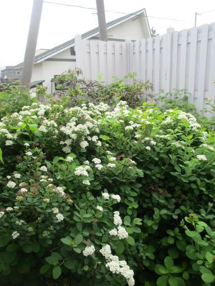お庭のお花が色々咲きだした&豚しゃぶ_a0279743_11124186.jpg