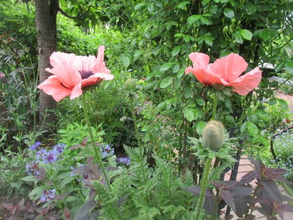 お庭のお花が色々咲きだした&豚しゃぶ_a0279743_11143709.jpg