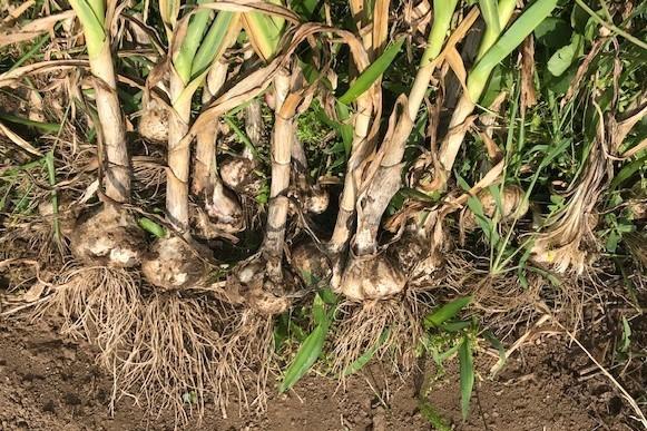 ニンニク全て収穫、地ばいキュウリは初収穫、6・8~11_c0014967_17463335.jpg