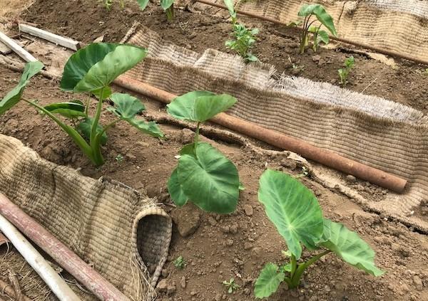 ニンニク全て収穫、地ばいキュウリは初収穫、6・8~11_c0014967_17543703.jpg