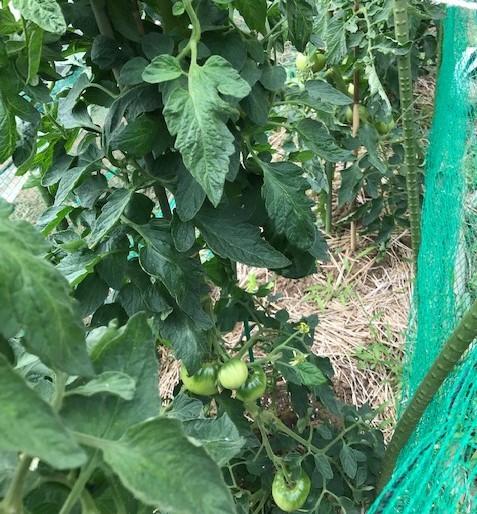 ニンニク全て収穫、地ばいキュウリは初収穫、6・8~11_c0014967_18030145.jpg