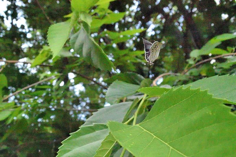 小畔川便り(ミズイロオナガの開翅とミドリシジミ初見:20206/2.3)_f0031682_15123592.jpg