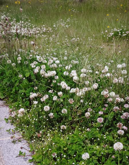 ハマヒルガオとクローバー、昔懐かしい花の風景_a0136293_16595904.jpg