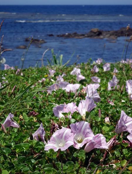 ハマヒルガオとクローバー、昔懐かしい花の風景_a0136293_17144050.jpg