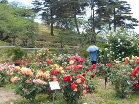 日本国花苑のバラ園(秋田県井川町)_f0019498_13230623.jpg