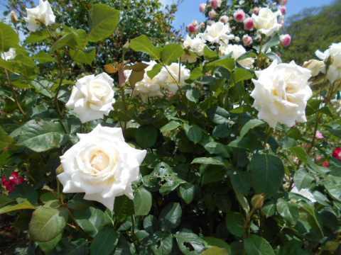 日本国花苑のバラ園(秋田県井川町)_f0019498_13241035.jpg