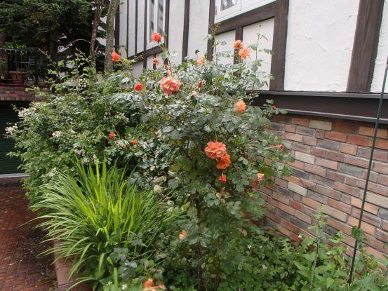庭のバラたち_f0064906_11421613.jpg