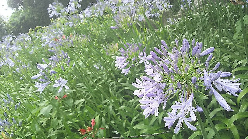 6月13日 アカパンサスの花咲くと。_a0204408_21265193.jpg