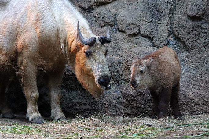 多摩動物公園サマーナイト2019④~ゴールデンターキンっ仔「ハマ」_b0355317_21444465.jpg