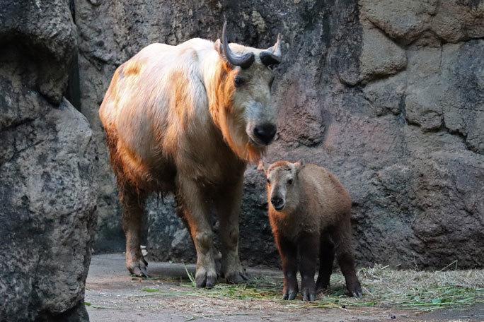 多摩動物公園サマーナイト2019④~ゴールデンターキンっ仔「ハマ」_b0355317_21500662.jpg