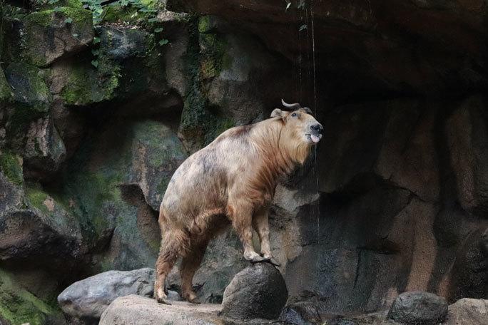 多摩動物公園サマーナイト2019④~ゴールデンターキンっ仔「ハマ」_b0355317_21543286.jpg