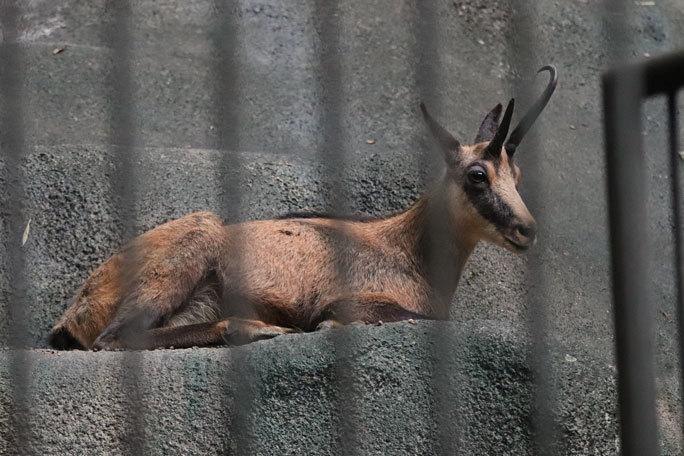 多摩動物公園サマーナイト2019④~ゴールデンターキンっ仔「ハマ」_b0355317_21551085.jpg