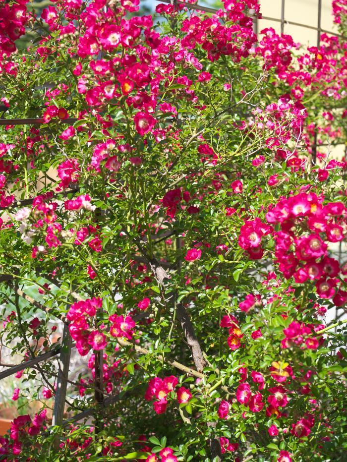 我が家の花たち_b0408917_10401349.jpg