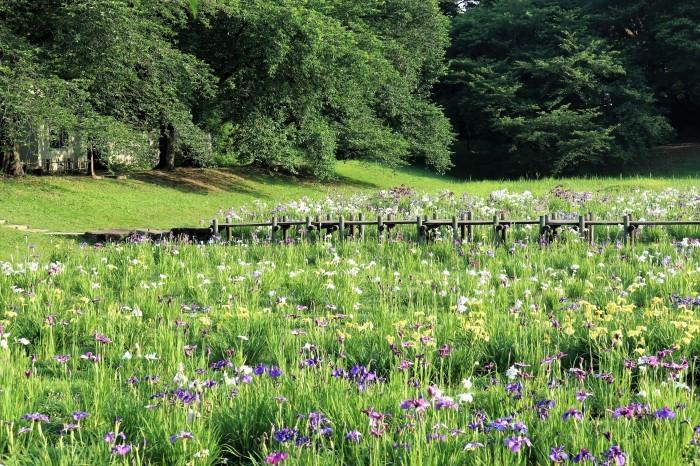 大宮第二公園 花菖蒲園_d0150720_11401585.jpg