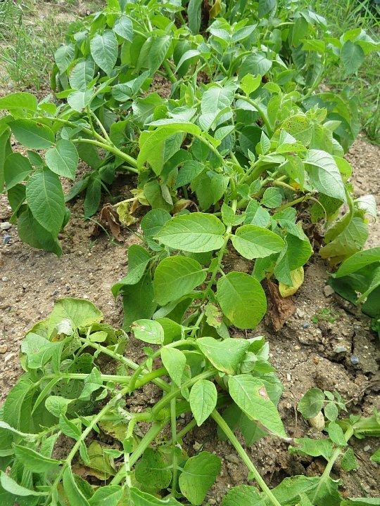 2020年6月21日 新ジャガイモの収穫  !(^^)!_b0341140_13015752.jpg