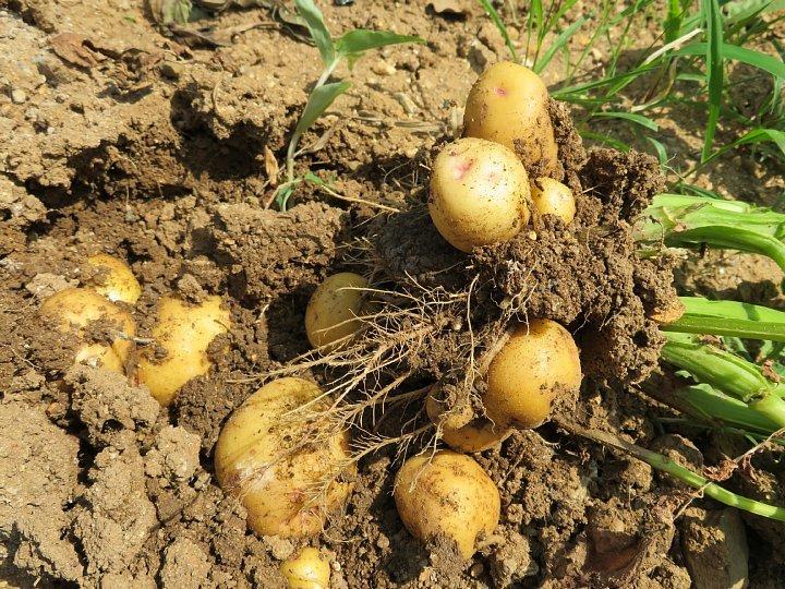 2020年6月21日 新ジャガイモの収穫  !(^^)!_b0341140_13022763.jpg