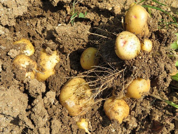 2020年6月21日 新ジャガイモの収穫  !(^^)!_b0341140_13023565.jpg