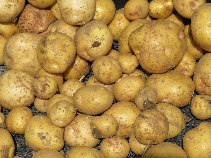 2020年6月21日 新ジャガイモの収穫  !(^^)!_b0341140_13024506.jpg