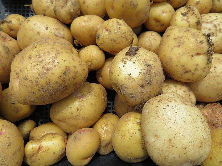 2020年6月21日 新ジャガイモの収穫  !(^^)!_b0341140_13025163.jpg