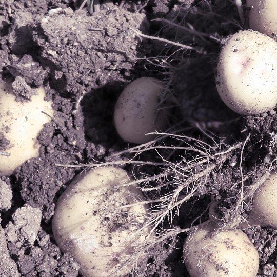 2020年6月21日 新ジャガイモの収穫  !(^^)!_b0341140_13035500.jpg
