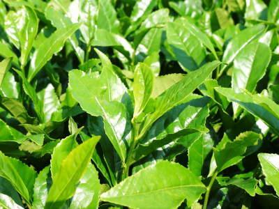 菊池水源茶 令和2年度の茶摘みの様子!こだわりの有機栽培のお茶の茶摘みを取材しました!_a0254656_15195668.jpg