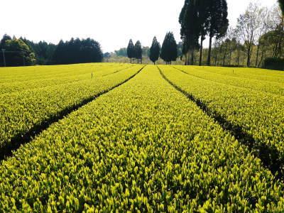 菊池水源茶 令和2年度の茶摘みの様子!こだわりの有機栽培のお茶の茶摘みを取材しました!_a0254656_15255587.jpg