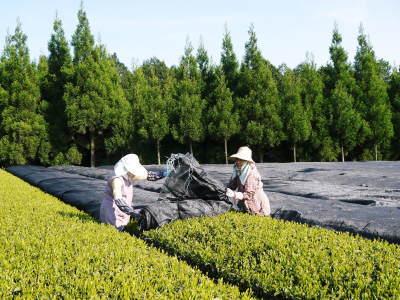 菊池水源茶 令和2年度の茶摘みの様子!こだわりの有機栽培のお茶の茶摘みを取材しました!_a0254656_15271708.jpg