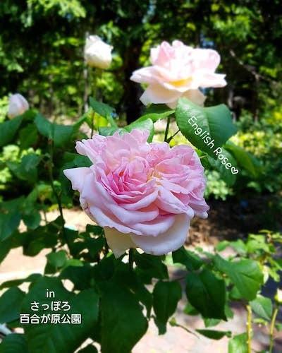 さっぽろ百合が原公園のイングリッシュローズが咲いた!<札幌の公園>_a0293265_16010006.jpg