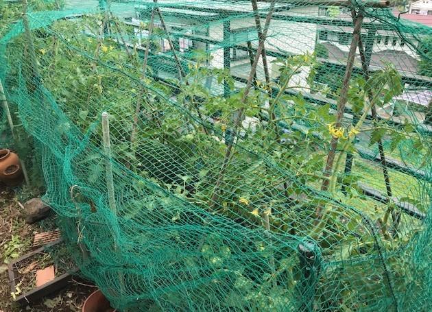 梅雨の晴れ間にトマト、スイカ、ナスに防獣ネット6.12_c0014967_08442077.jpg