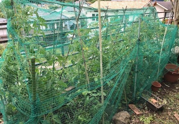 梅雨の晴れ間にトマト、スイカ、ナスに防獣ネット6.12_c0014967_08451071.jpg