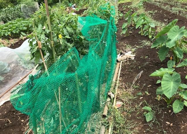 梅雨の晴れ間にトマト、スイカ、ナスに防獣ネット6.12_c0014967_08455051.jpg