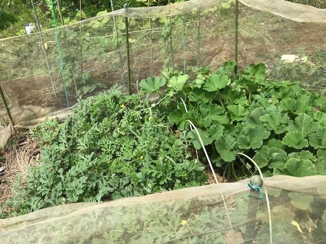 梅雨の晴れ間にトマト、スイカ、ナスに防獣ネット6.12_c0014967_08464883.jpg